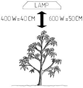 Lamp or light height for marijuana plants.