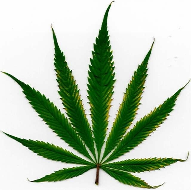 Marijuana leaf with a lite burn on edges.