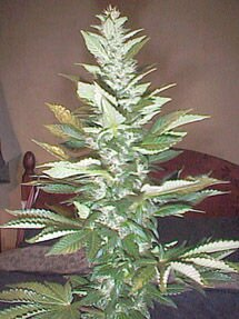 plant1mg