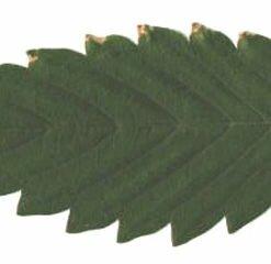 Marijuana Plant Abuse - Nutrient Solution Burn