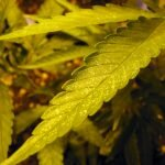 "Ask Greenman: ""My Leaves are Turning Yellow"""